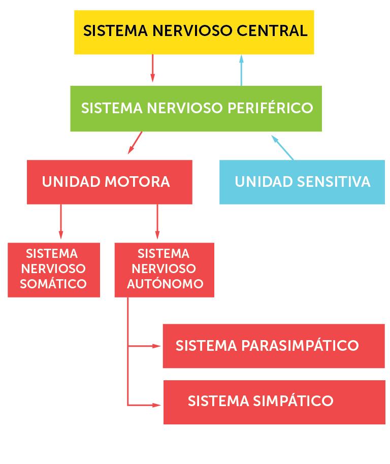 1_nervesystemets_organisering_spansk
