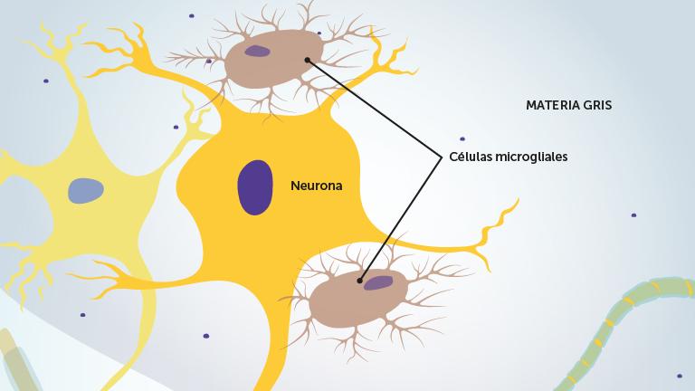 3_a_microglia_celler_spansk