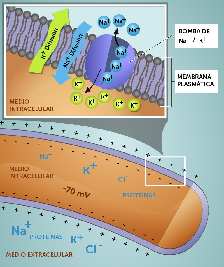 5_membranpotensial_spansk